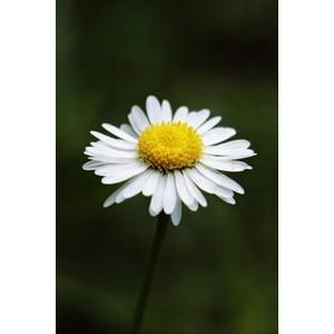Духи с нотой ромашки | Ромашка в парфюмерии