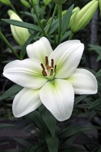 Духи с запахом лилии. Лилия в парфюмерии